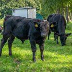 Black Angus Rind vom Hof Holtrup in Senden